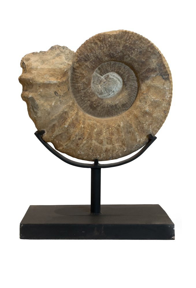 Large Ammonites Fossil