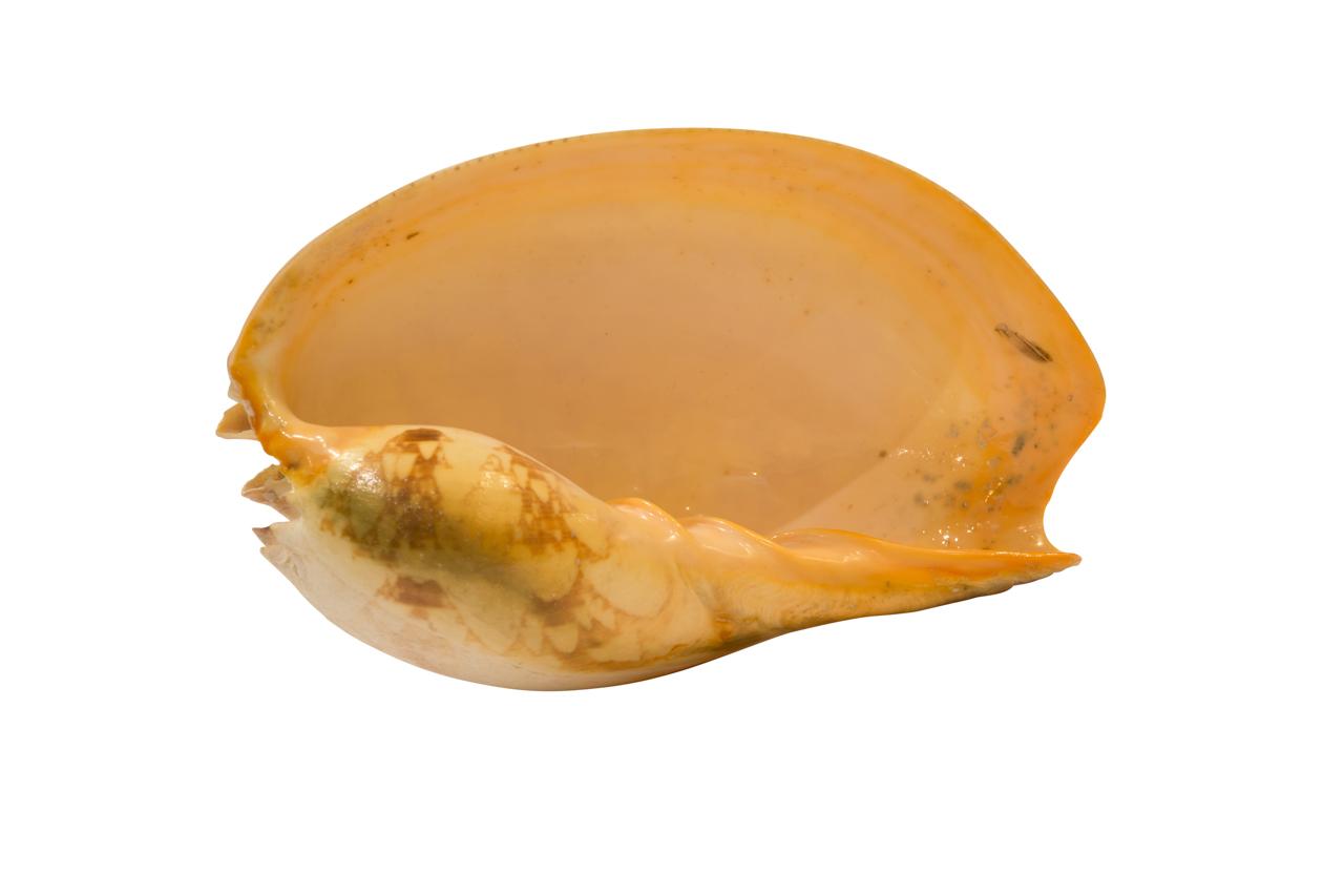 Caracol Natural-27 Cm