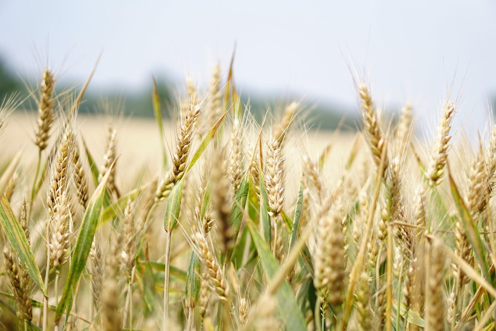 brown crops in a field