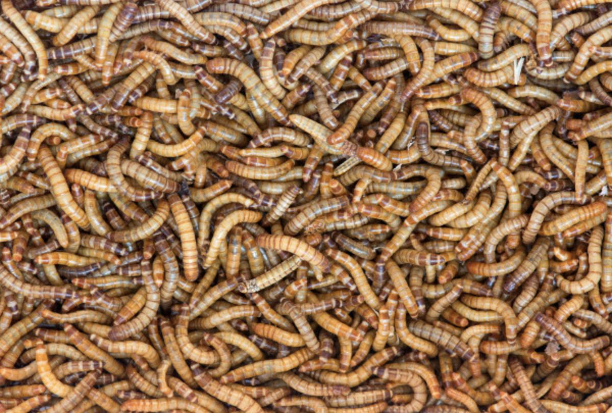buffalo worms as livestock food