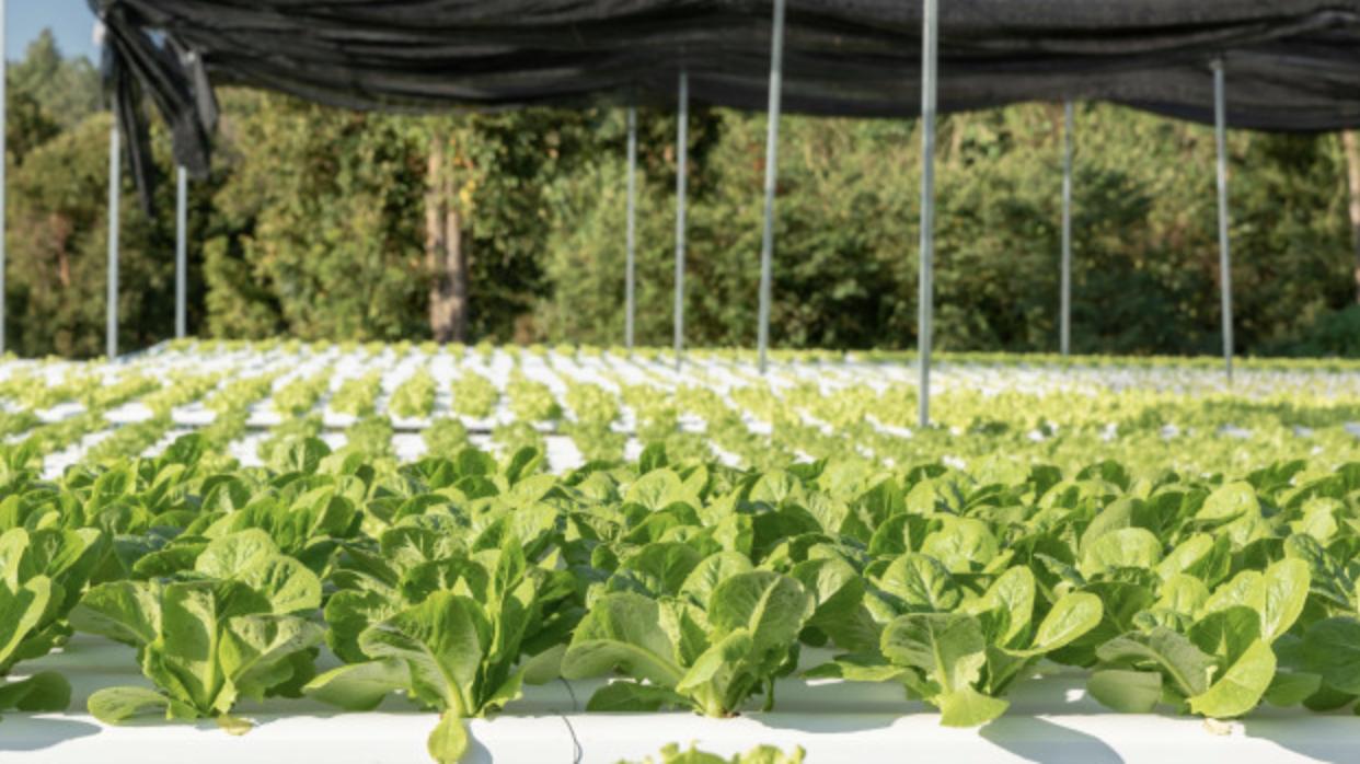 fresh green produce in a field