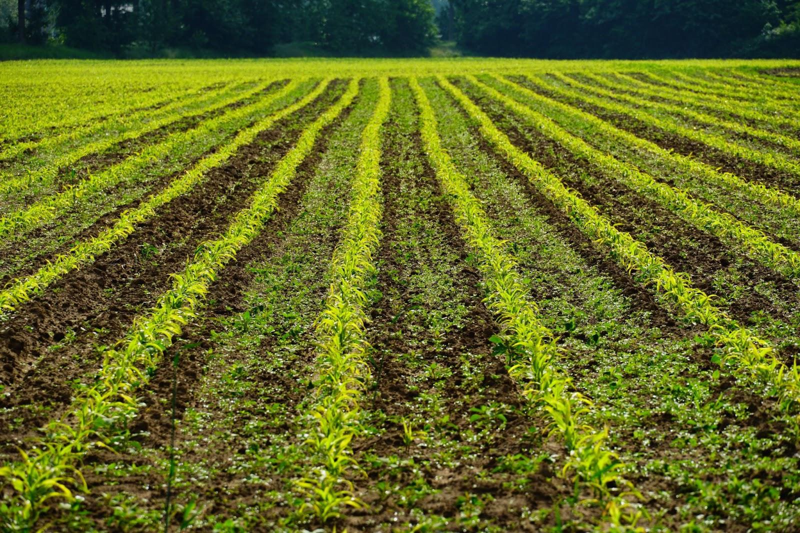 green rows of crop fields