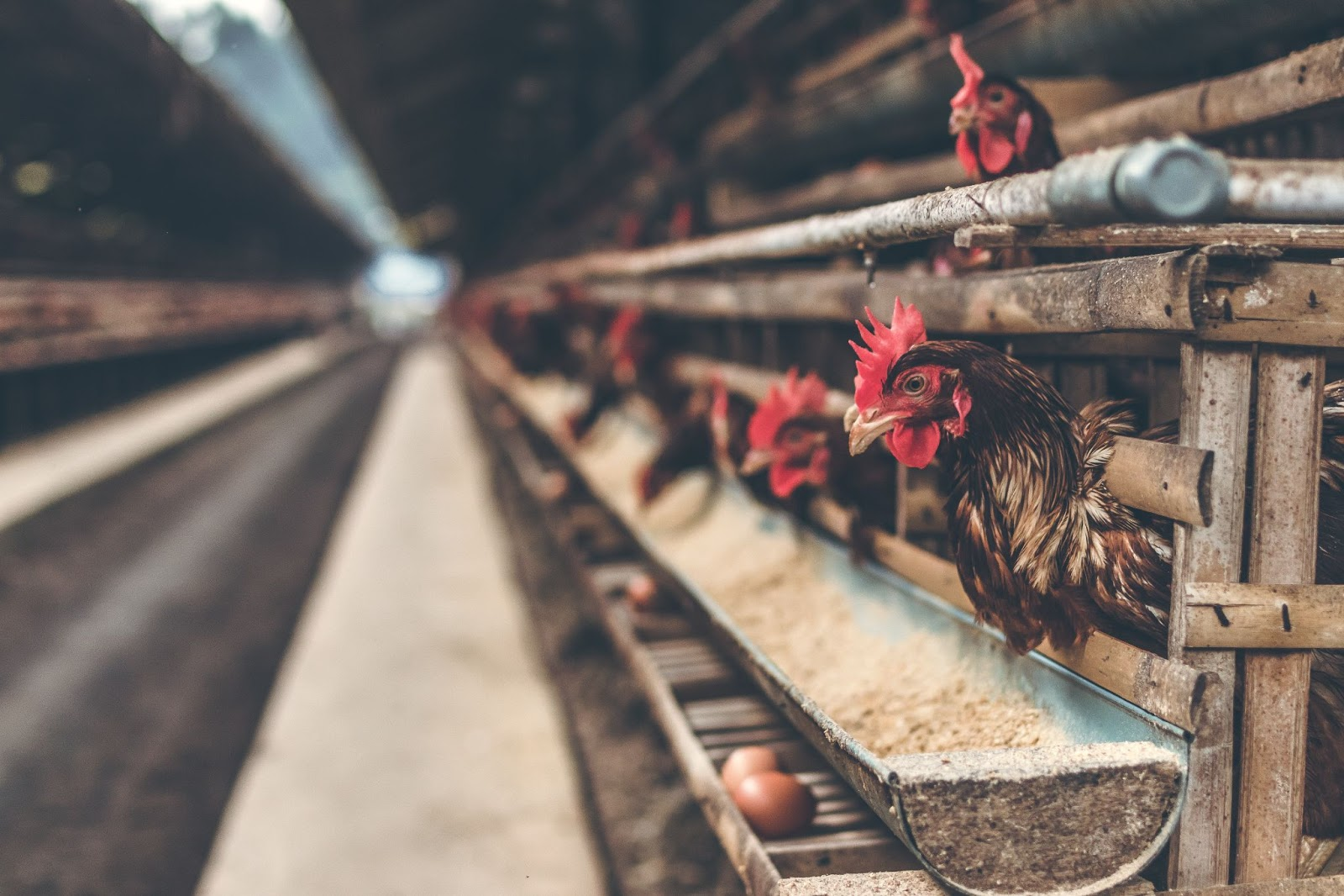 chickens in their cages in a poultry farm