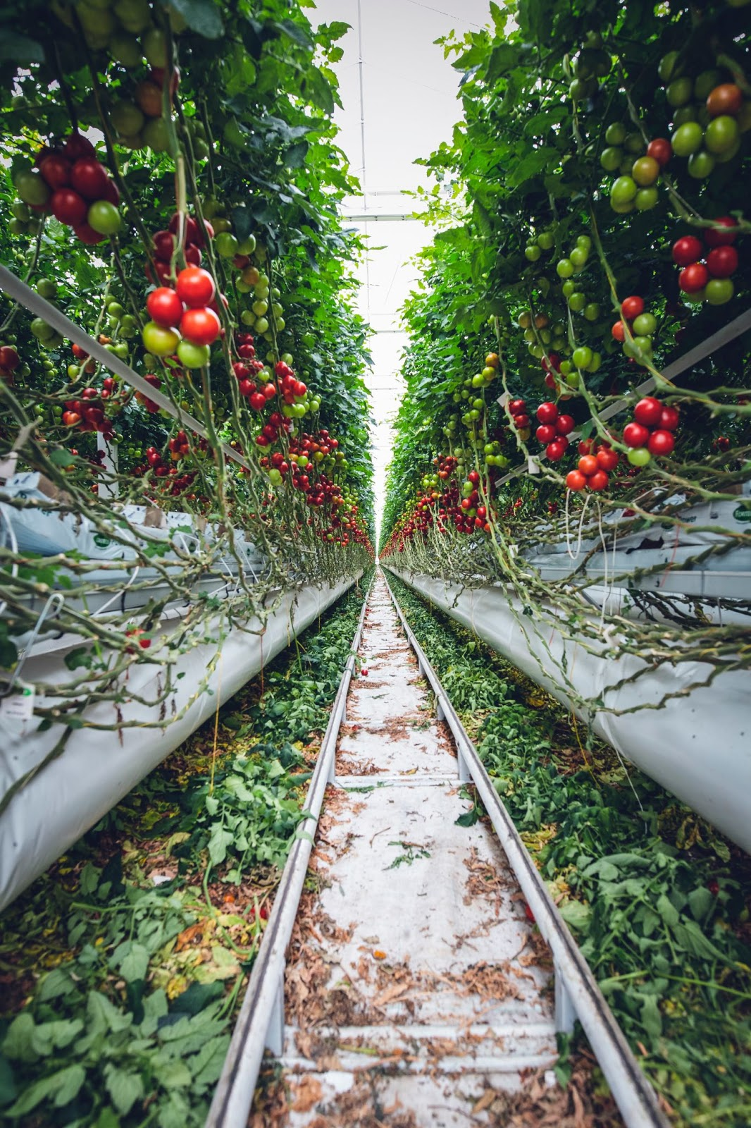 tomatoes growing inside a greenhouse