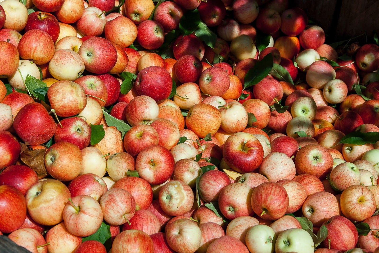 a large collection of red apples