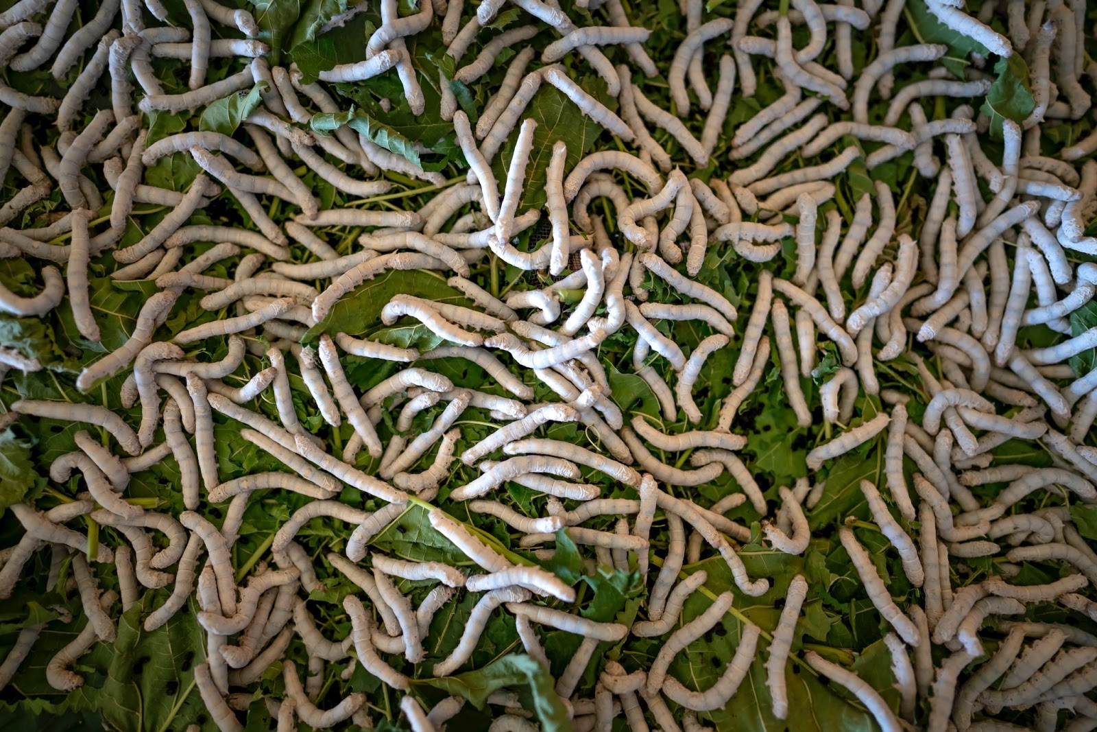 white silkworms crawling on leaves