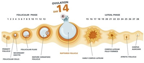 Mỗi tháng, thông thường phụ nữ sẽ phóng thích 1 quả trứng ra khỏi buồng trứng, gọi là hiện tượng rụng trứng.