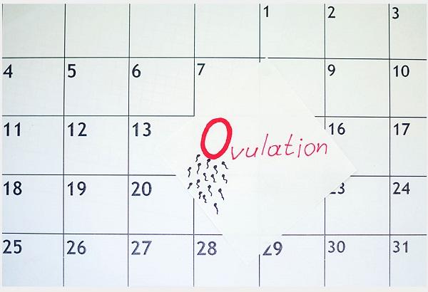 Tính được ngày rụng trứng sẽ giúp phụ nữ sớm có thai như ý muốn hoặc tránh thai.
