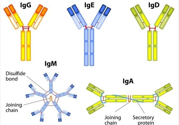 định lượng kháng thể trong huyết thanh.