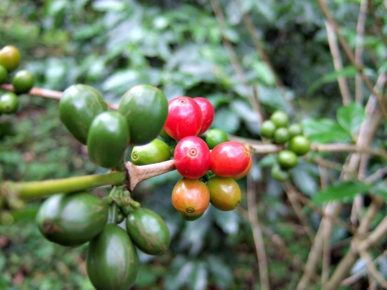 unripe coffee cherry