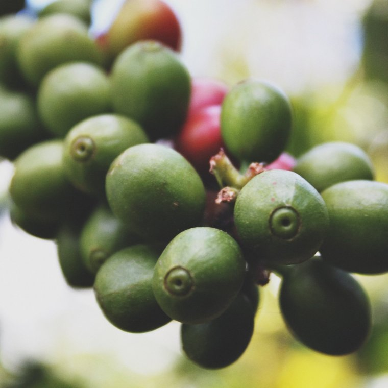 unripe coffee cherries