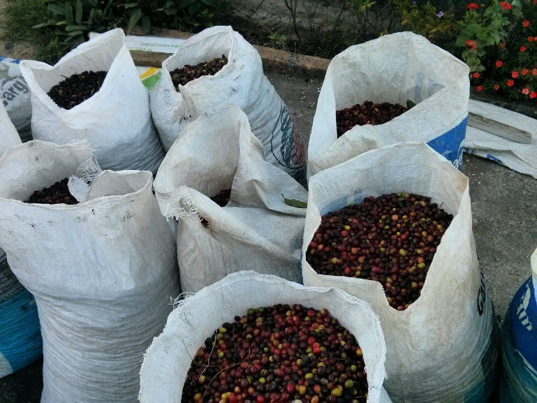 organic coffee cherries in bags