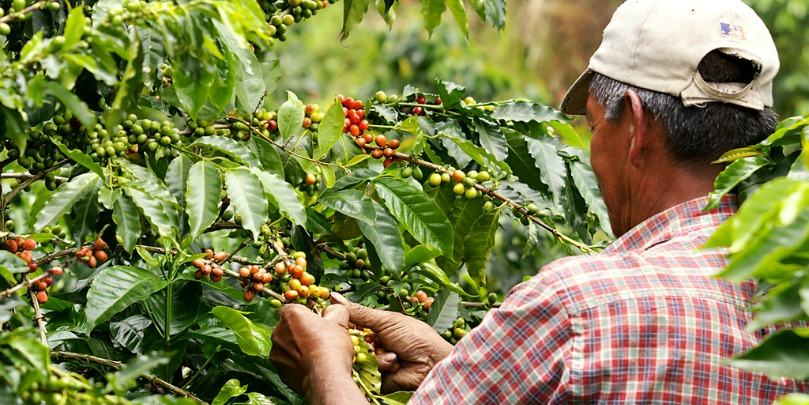 colombian coffee farmer picking cherries