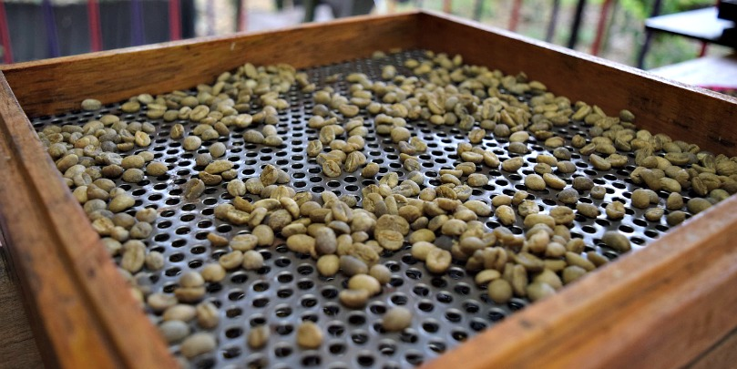 sorting green colombian coffee beans
