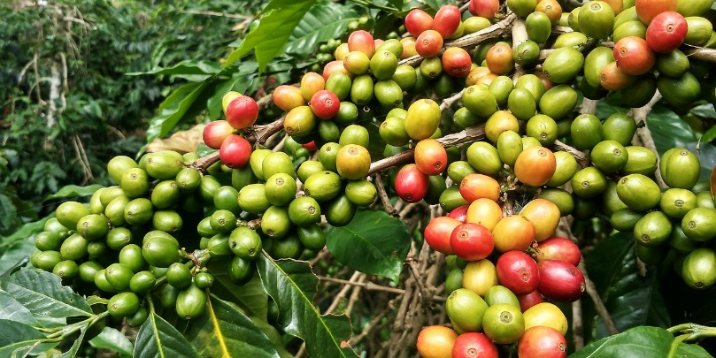 colombian coffee cherries at various stages of ripeness