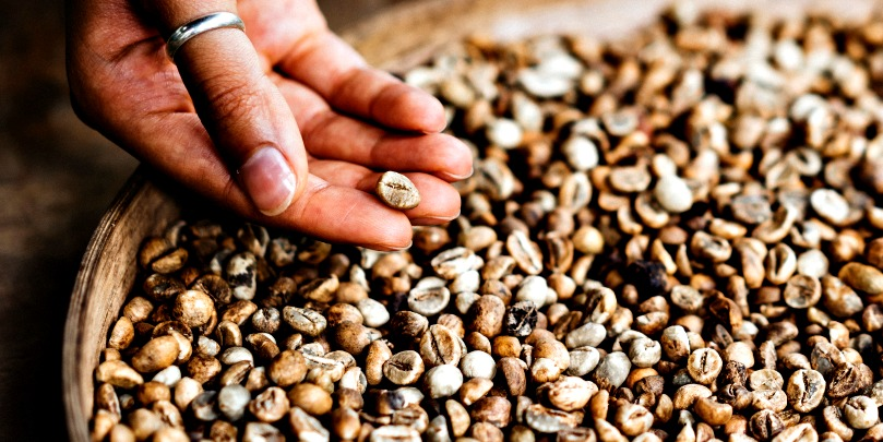 kenyan coffee beans in a hand
