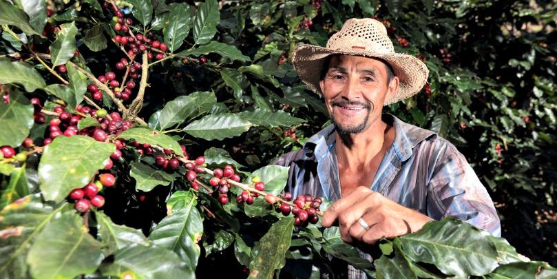 honduran coffee farmer picking cherries