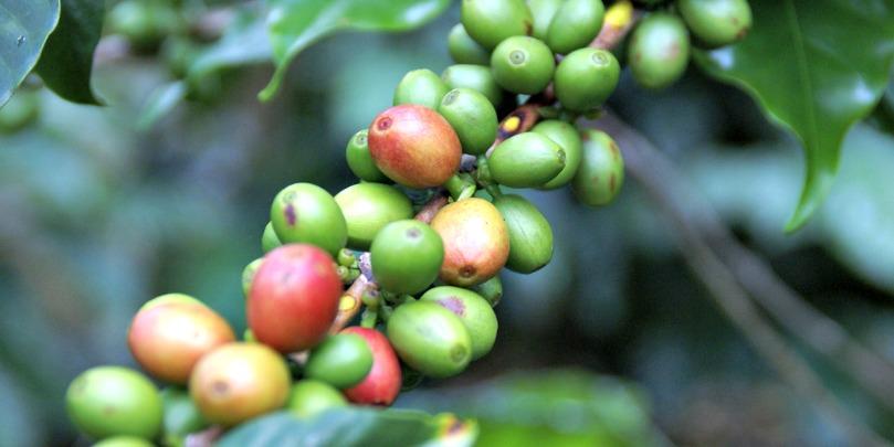 honduran coffee beans