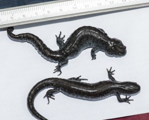 Salamander side-by-side