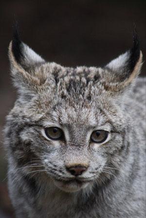 lynx face