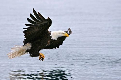 Bald Eagle Facts, Information, and Photos