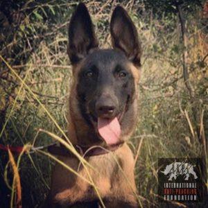 Katana our K9 Patrol Dog