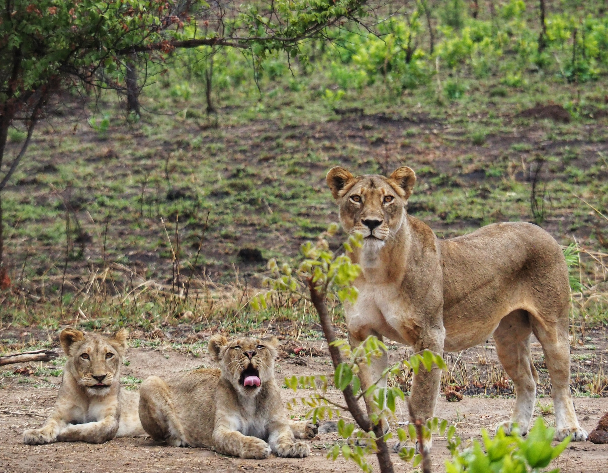 One of the two lionesses with two cubs passing through the wildlife area