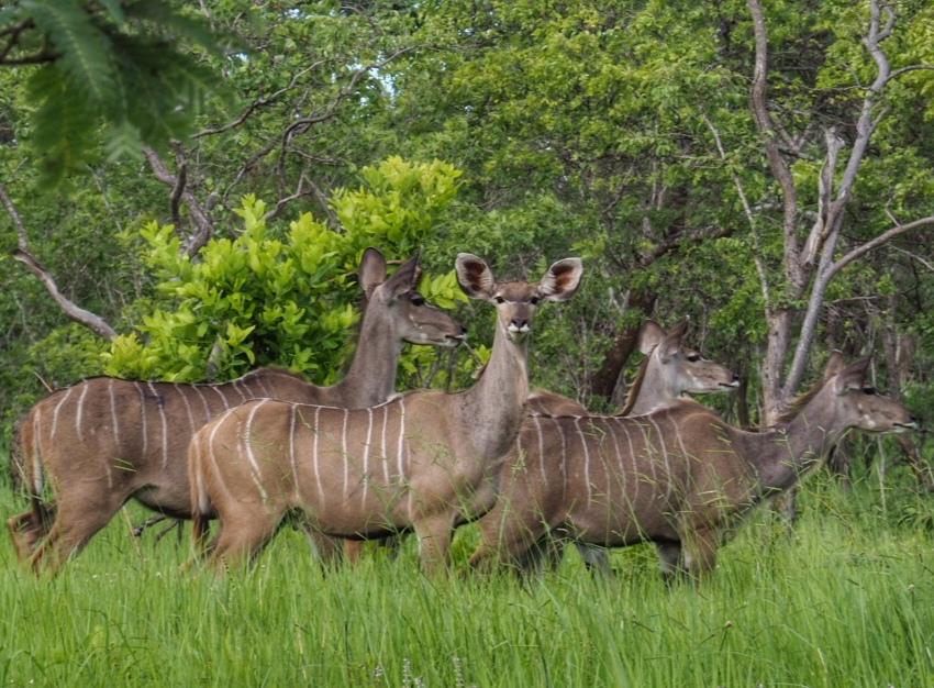 A herd of kudu