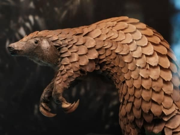 Why Are Pangolins Poached?