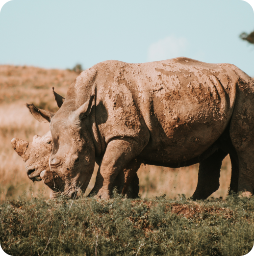 Rhinos - only 2% are left