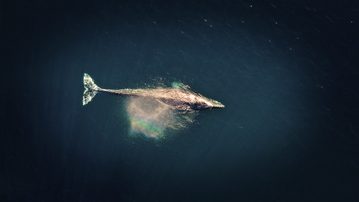 Aerial view of a whale taken by a drone
