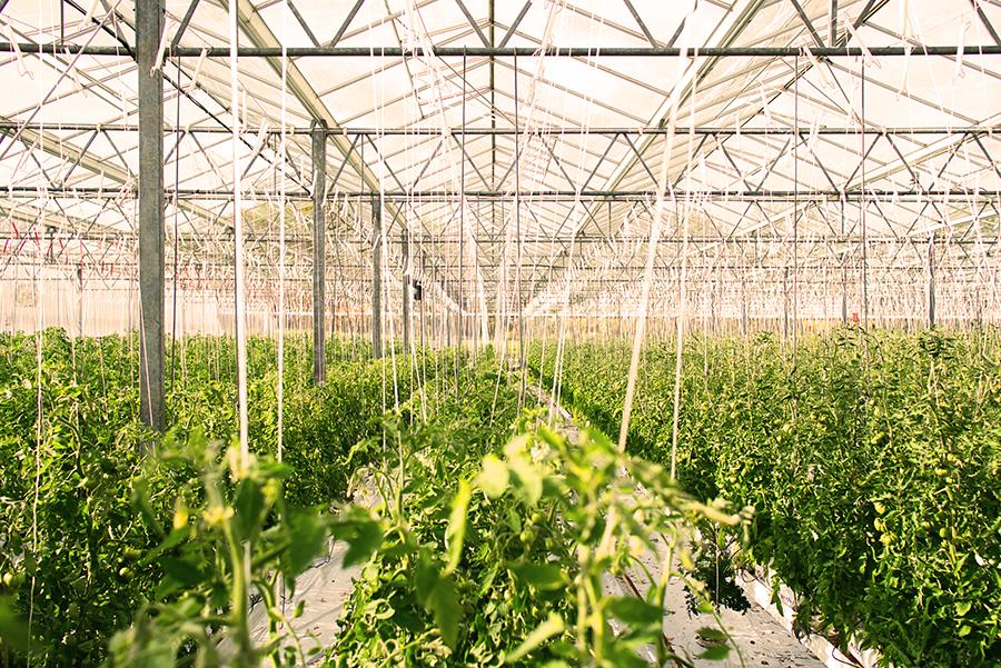 A drone-captured image of a lush greenhouse tomato farm