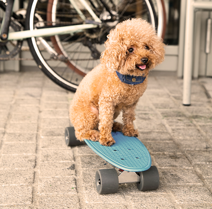 A pup riding a blue skateboard and measuring his exercise with a wellness collar.
