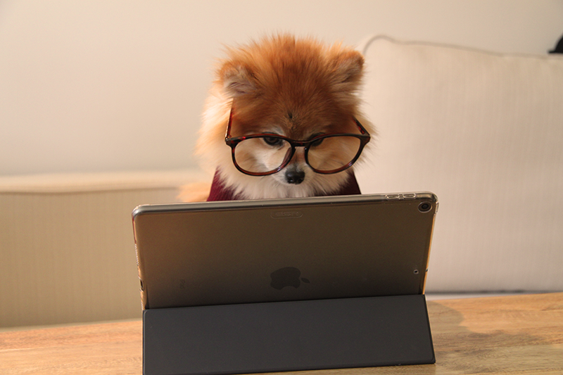 A studious Pomeranian on its Windows surface to book an on-demand dog walking appointment