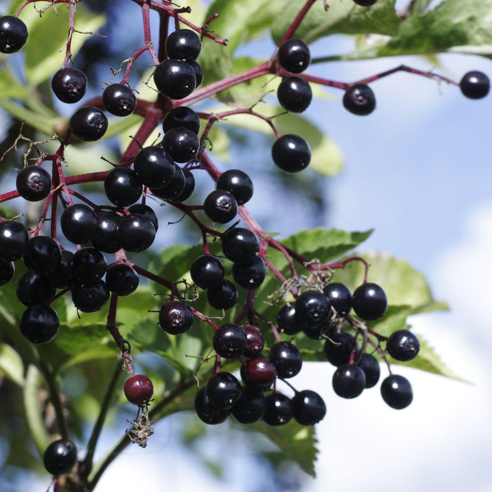 elderberries close up.