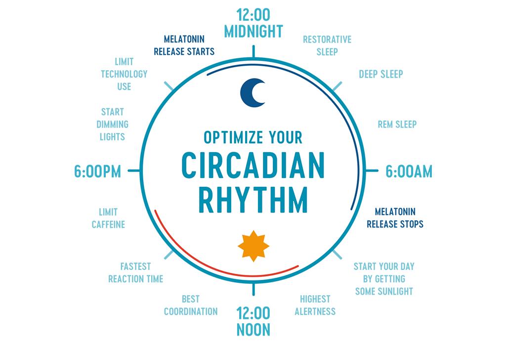 Circular diagram going through the different circadian rhythm phases