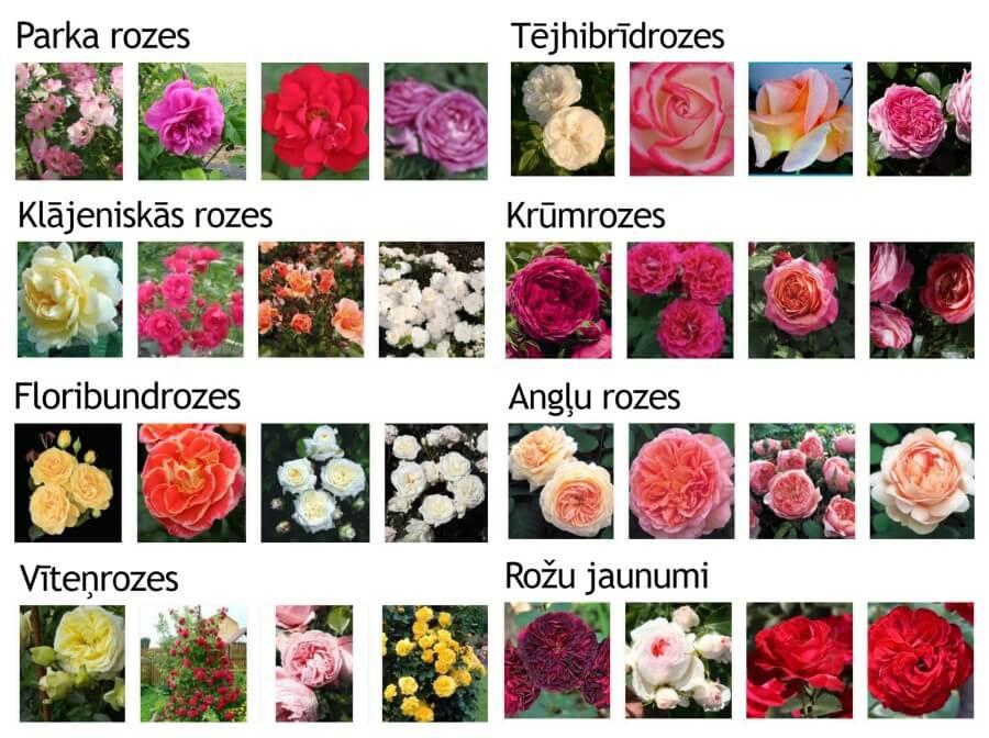 Rožu stādi
