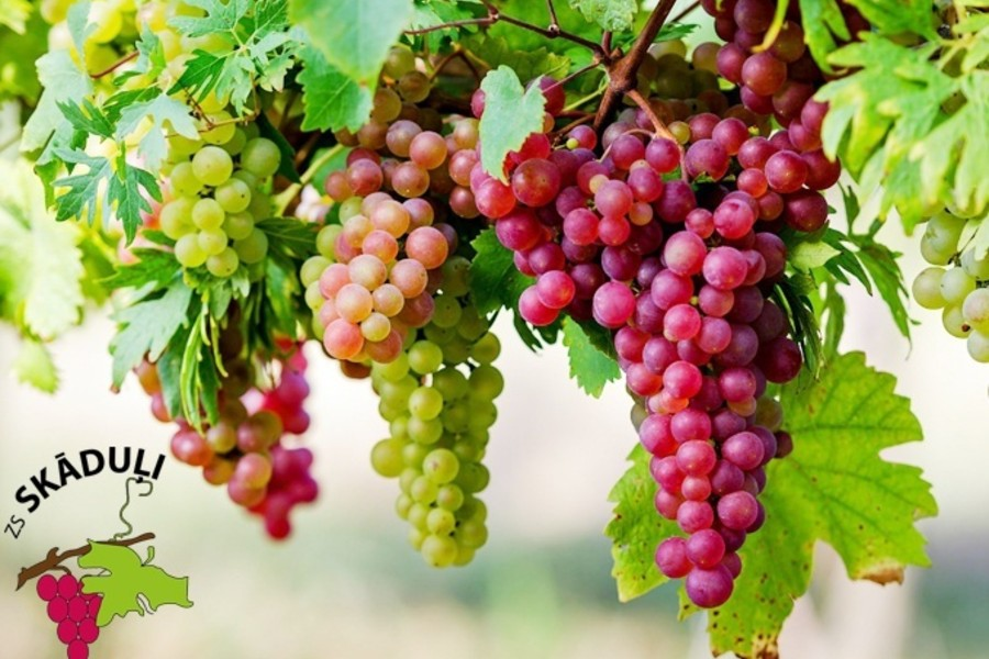 Ražīgi, izturīgi un salcietīgi – Siguldā audzēti vīnogu stādi un dažādi vīteņi