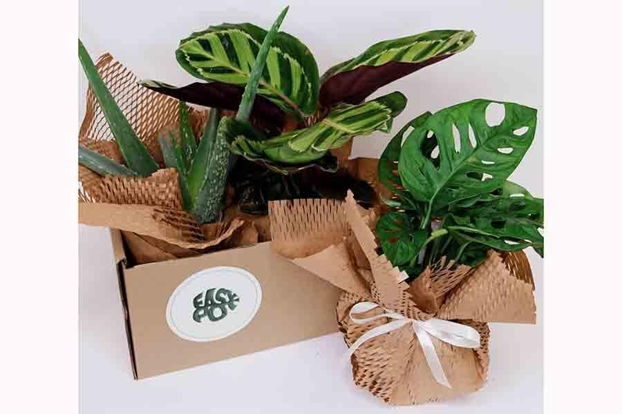 Noslēpumainā Džungļu kaste 6 augi