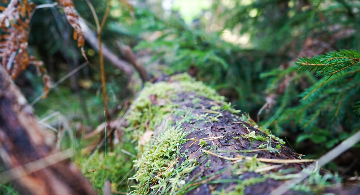 Talousmetsien luonnonhoito edistää metsien monimuotoisuutta