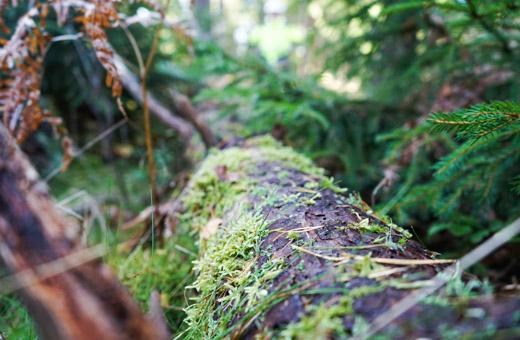 Metsäsertifiointi velvoittaa jättämään puunkorjuussa säästöpuita ja kuolleita puita, joista muodostuu lahopuuta.