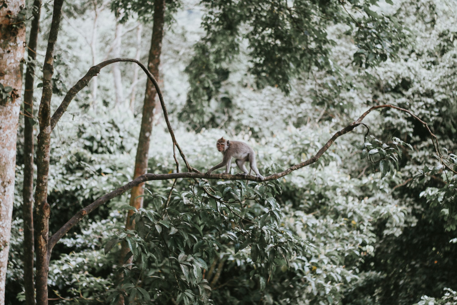 A lone monkey walking on all fours on a think branch in a tree in a forested area.