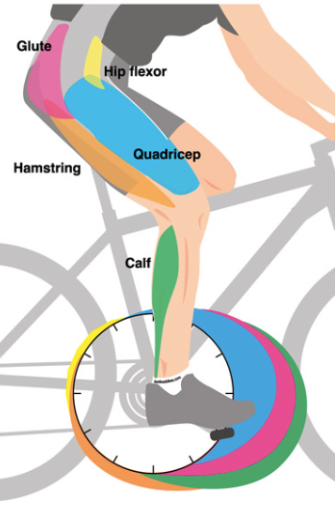 Muscle groups involved in generating power during the pedal stroke