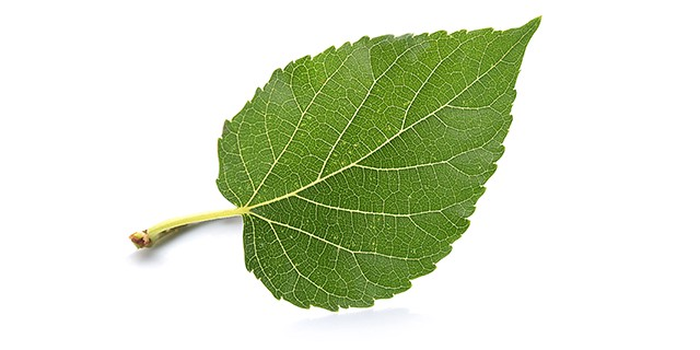 mulberry fruit benefits