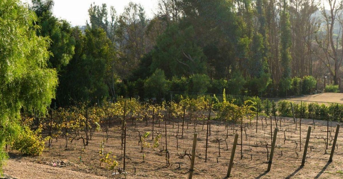 Small vineyard on Malibu estate