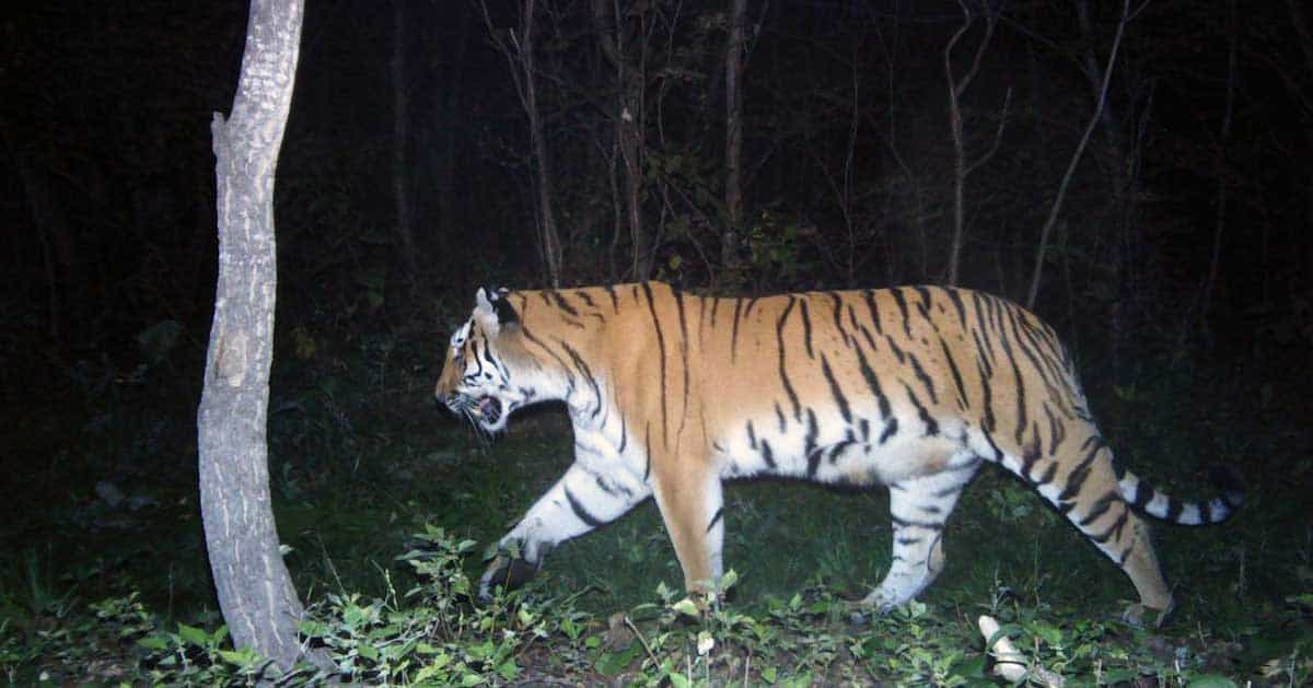 A tiger walking through the woods at night