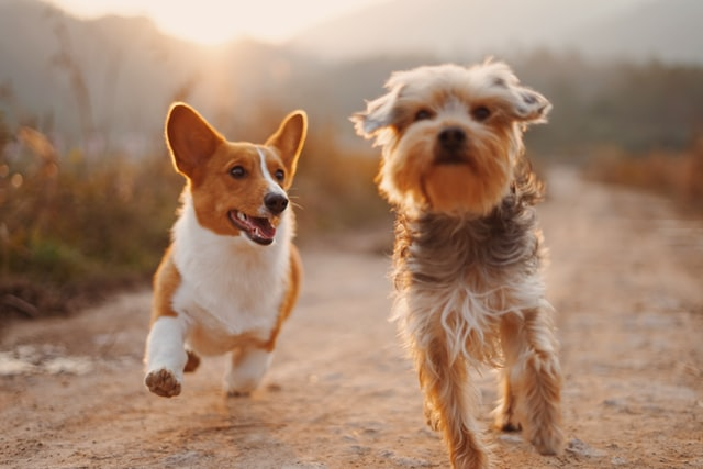 A glorious image of two dogs running toward the camera on a dusty trail