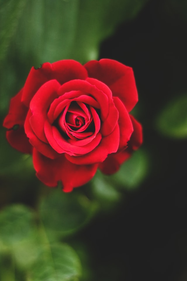 A shallow depth of field photo of a red rose.