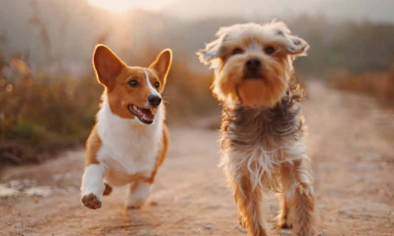 2 small dogs running