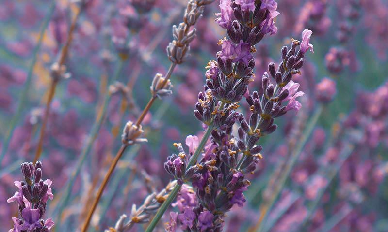 Lavender for Essential Oil